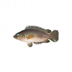Koi Fish (After Cutting Net Weight ± 50 gm)